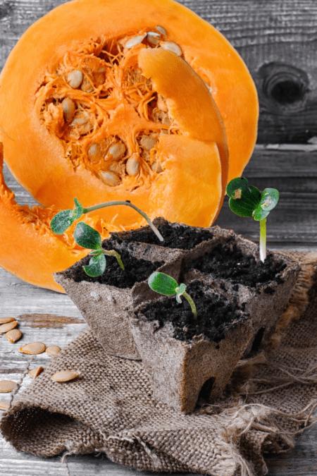 pumpkin plant seedlings in jiffy pots and half pumpkin