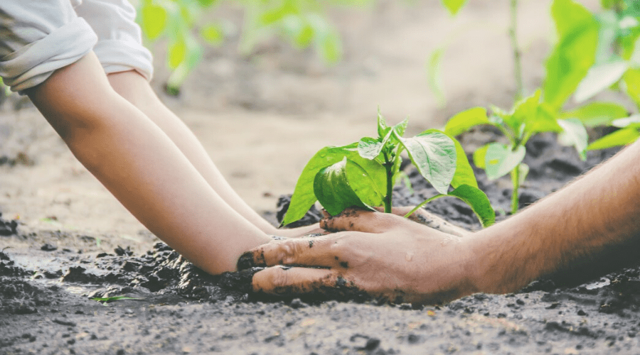 two pairs of hands planting a chili pepper plant in soil