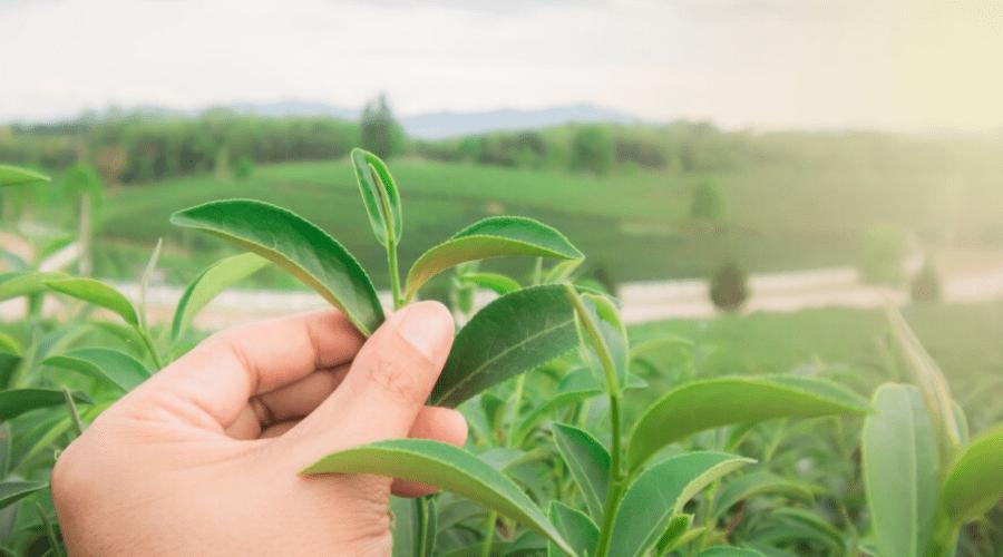 harvesting tea leaves by hand