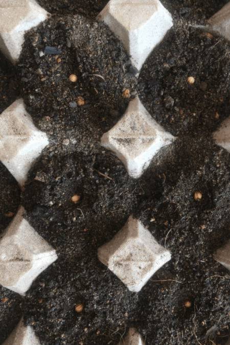 sowing seeds in trays with vermiculite