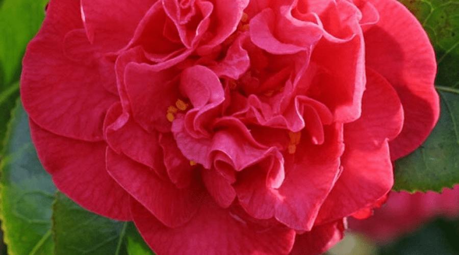 camellia australis bloom