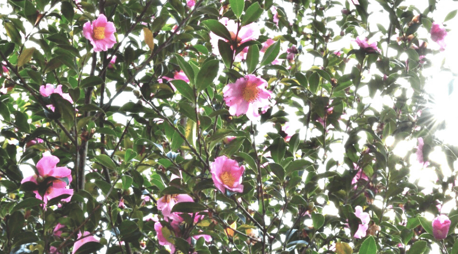 a camellia sasanqua tree in bloom with pink flowers