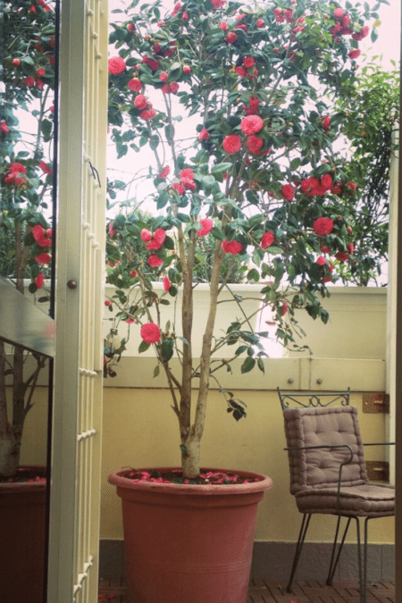 camellia in container on patio