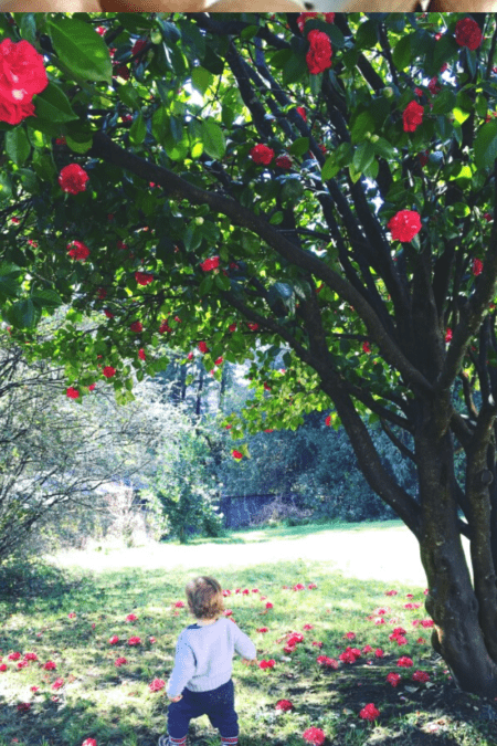 mature camellia in backyard with toddler