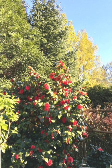 pruned camellia bush in backyard