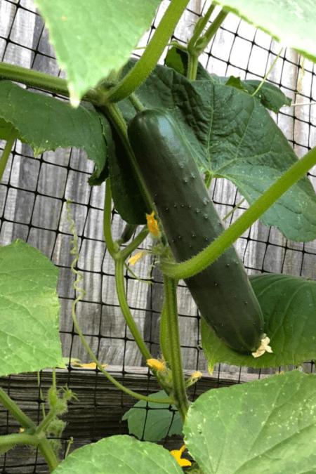 cucumbers climbing trellis in home garden