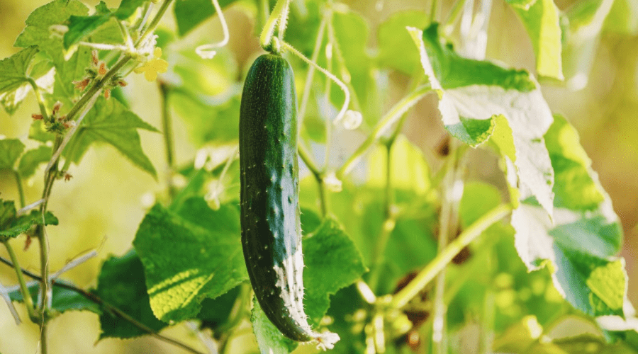 growing cucumber home garden on vine
