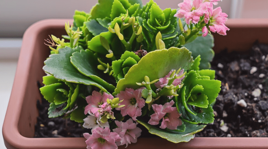 kalanchoe flowering indoors in planter for small spaces