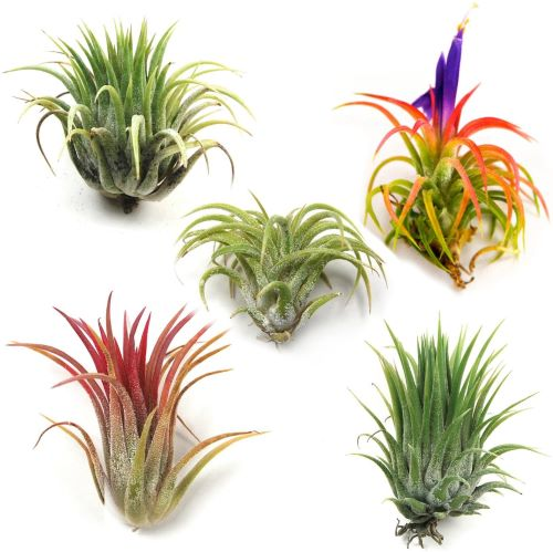 Ionantha Mexican - Set of 5 Air Plants