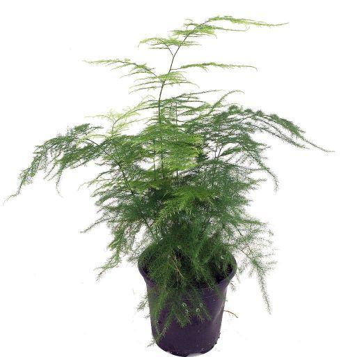 Fern Leaf Plumosus Asparagus Fern - 4-inch Pot