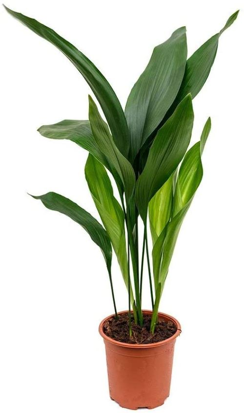 Cast Iron Plant - Aspidistra Elatior in 6-inch Growpot