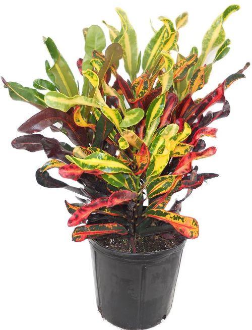 AMERICAN PLANT EXCHANGE Mammy Croton Live Plant