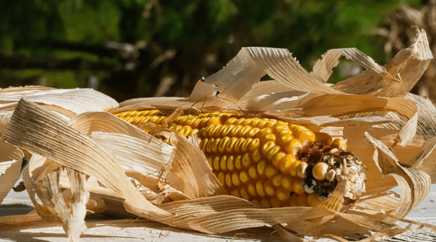 dried ear of corn on table outdoors