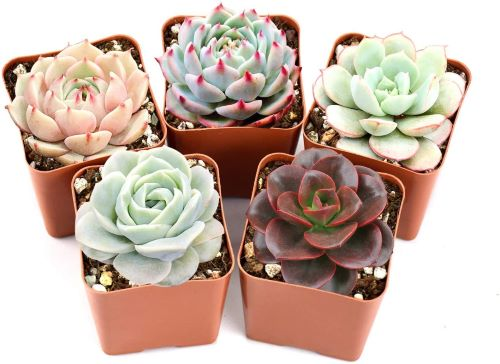 Echeveria 5 Pack - Assorted Rosettes