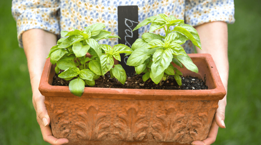 healthy basil plants in a container
