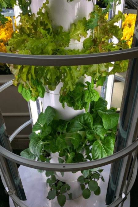lettuce growing indoors micro greens and mesclun