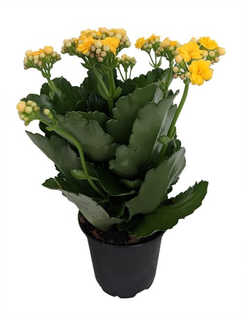 Yellow Flowering Kalanchoe in 4-inch growpot