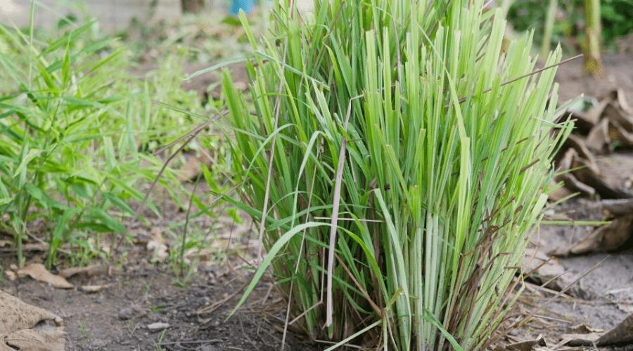 growing lemongrass home backyard garden