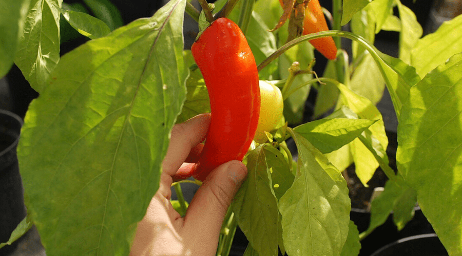 picking a red pepper from the plant