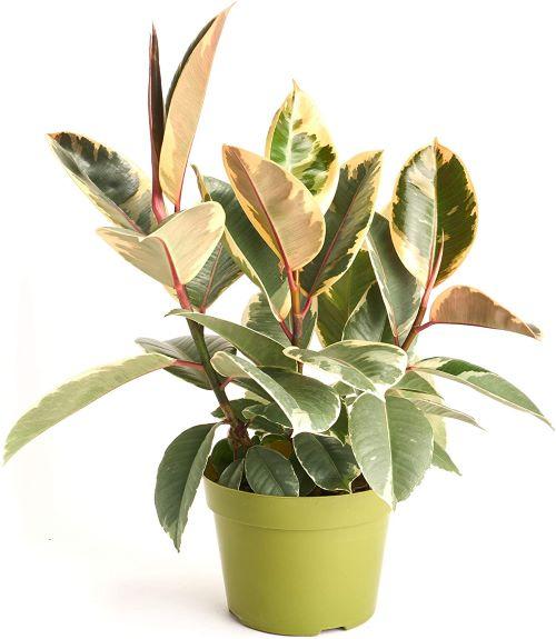 Decora 'Burgundy' 6-inch Rubber Plant (Ficus Elastica)