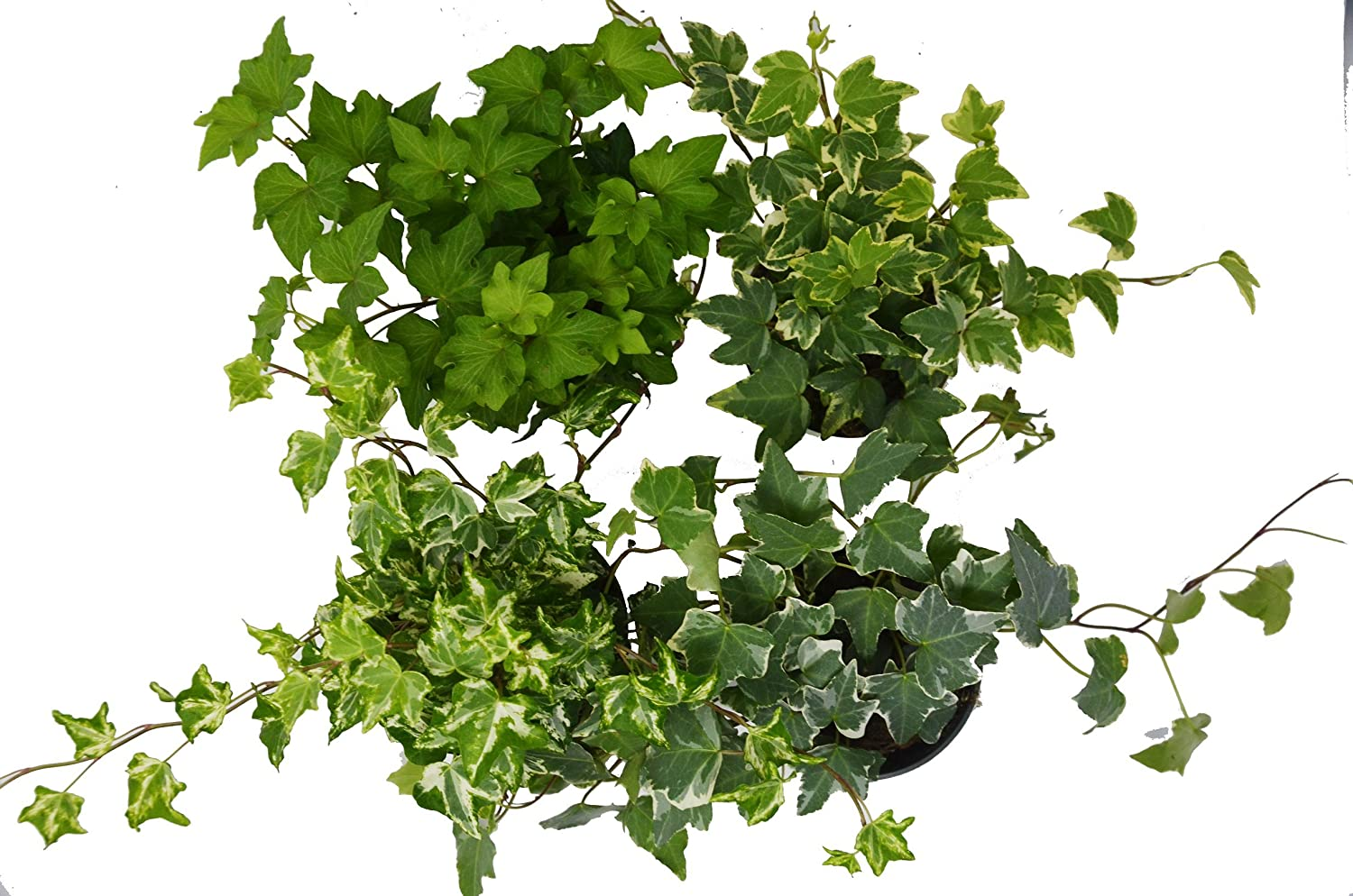 Buy 4 Different English Ivy plants at Amazon
