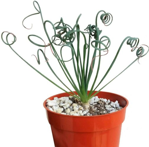 Buy Live Potted Trachyandra (Frizzle Sizzle) at Amazon