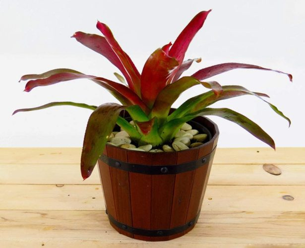 Fireball Miniature Bromeliad from American Plant Exchange
