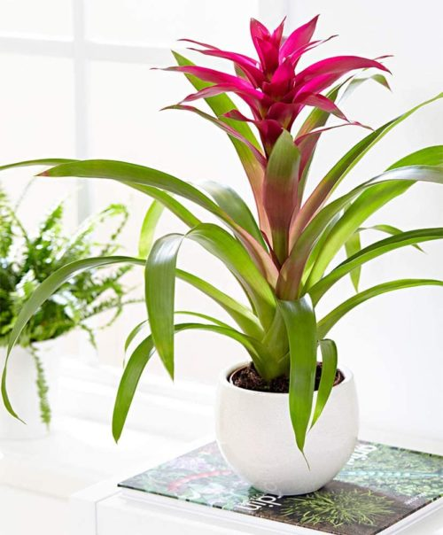 Bromeliad Guzmania from American Plant Exchange