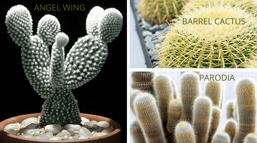 cactus varieties angel wing barrel parodia