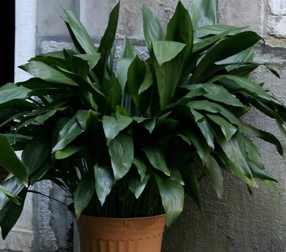 cast iron plant care and growth