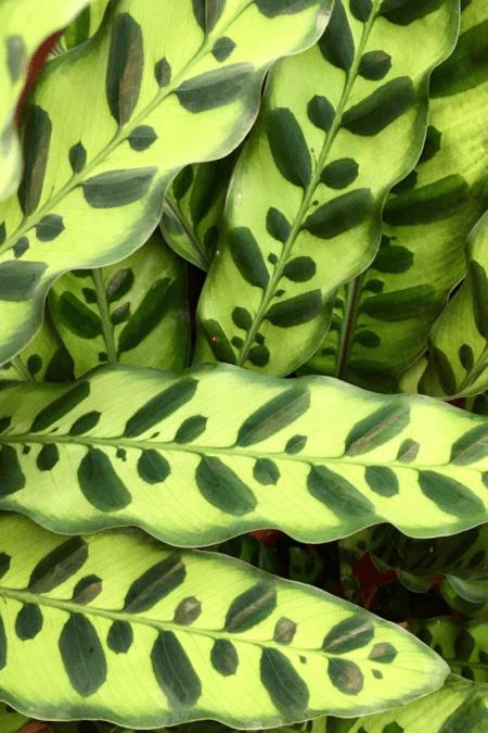 rattlesnake plant calathea lancifolia closeup of foliage