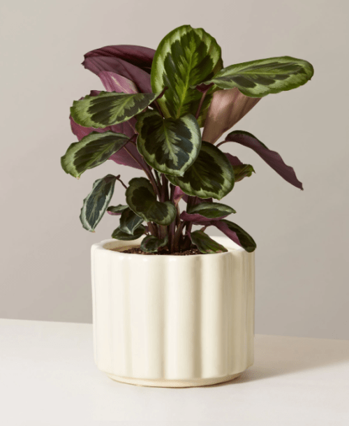 Buy Calathea Medallion at TheSill.com