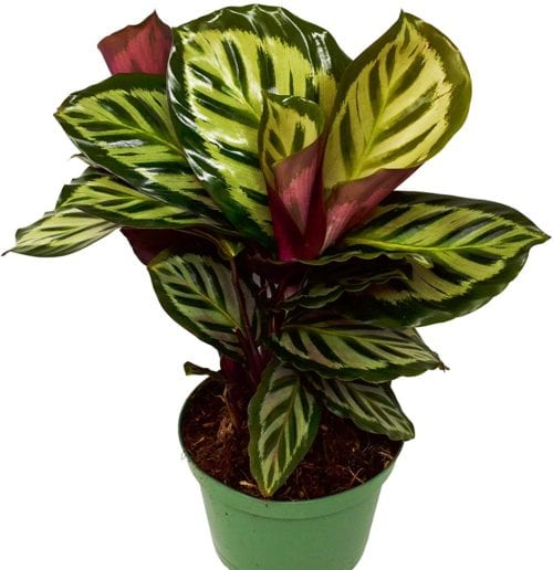 Buy Calathea Peacock at Amazon
