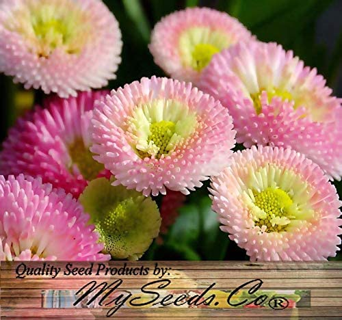 Buy Florist's Chrysanthemum seeds on Amazon