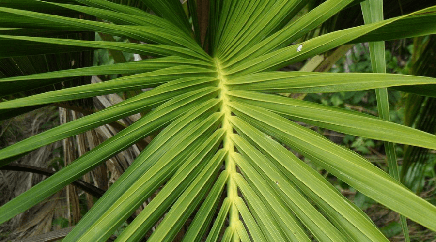 kentia palm variety curly palm outdoors closeup of foliage