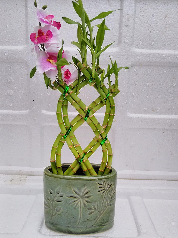 Buy Lucky Bamboo on Amazon
