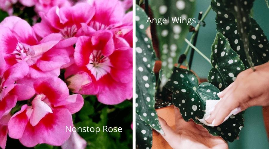 begonia varieties nonstop rose begonia and angel wings begonia
