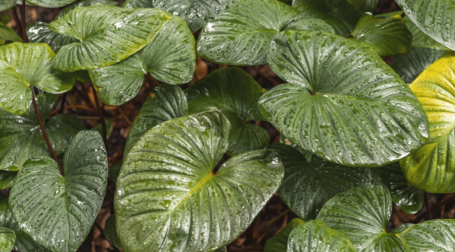 philodendron leaves with water droplets large Philodendron melinonii foliage