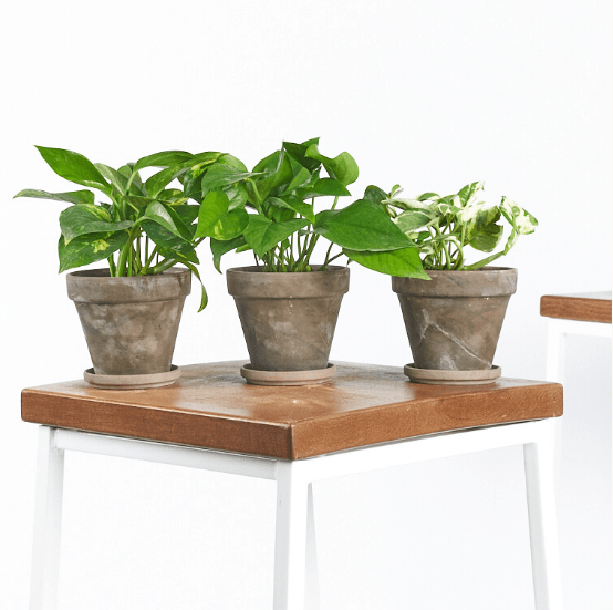 Buy Pothos Collection at Bloomscape