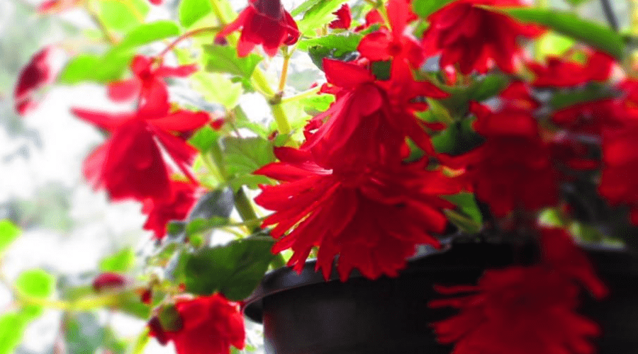 begonia rhizome propagating red blooms in growpot indoors houseplant