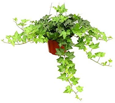 Get English Ivy at Amazon