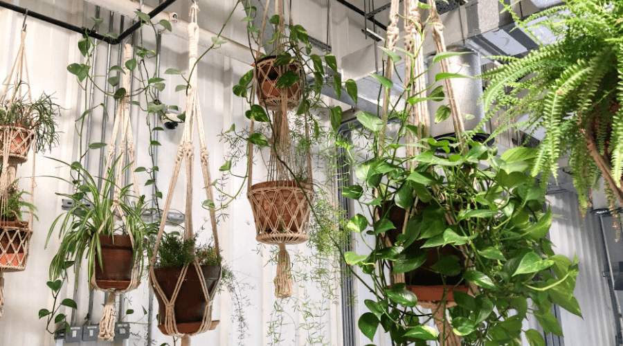 hanging plant display indoors macrame plant holders hang from ceiling