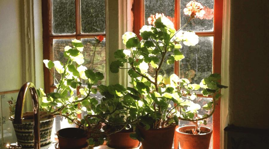 geraniums in pots flowering indoors in kitchen window
