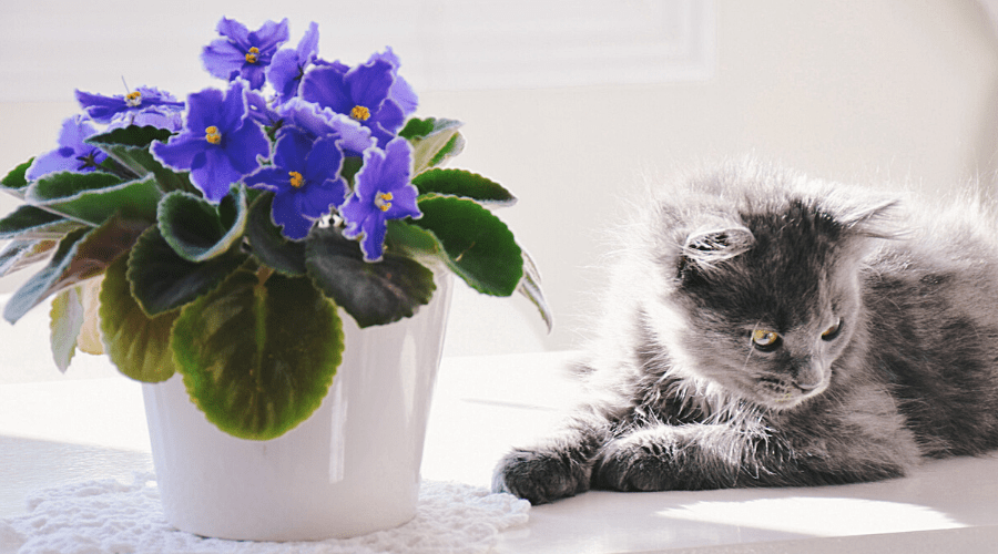 African violet in pot on windowsill with gray cat