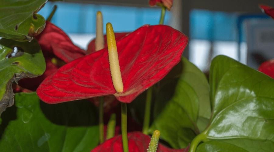 anthurium indoors thriving flowering plant