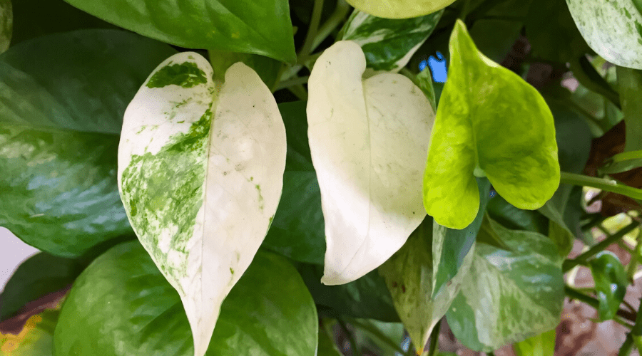 golden pothos closeup of variegated foliage leaves
