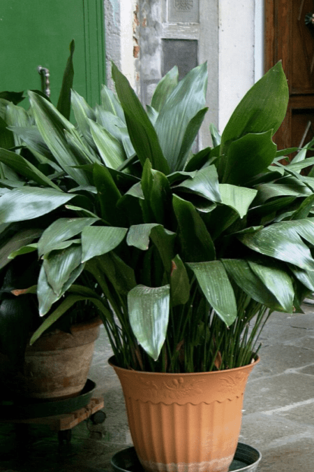 cast iron plant in pot indoors on floor