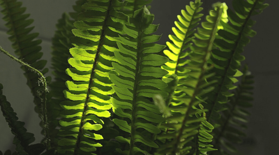 boston fern indoor low light plant in shaded room