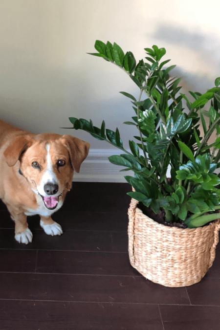 corgi and zz plant in home office on floor