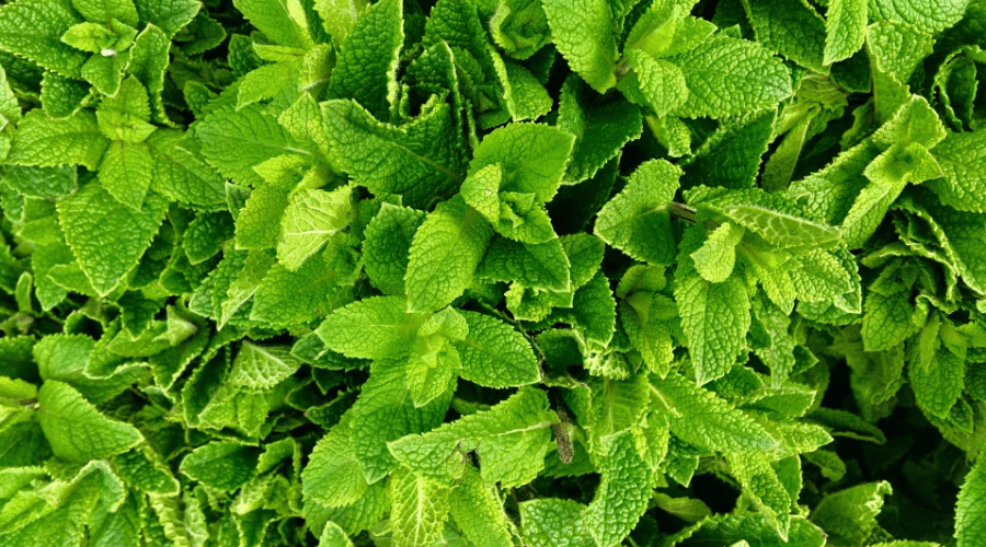 fresh mint growing healthy from above